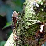 Die Tropen sind voller merkwürdiger Insekten.