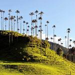 Palmen im Cocoatal.