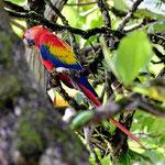 Ein Scarlet Macaw auf der Chontal Lodge.