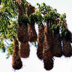 An dem Baum kommen wir nicht vorbei. Marion zählt insgesamt 60 Nester der Oriole.