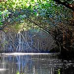 Fahrt durch einen Mangrovenurwald.