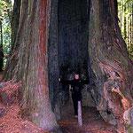 """Bei 2000 Lebensjahren hat so ein """"normaler"""" Redwood ca 80 Brände hinter sich. Oft ist unten nur noch der halbe Baum da, oben ist aber alles grün."""