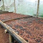Die Kakaobohnen werden getrocknet, erst an der Luft.