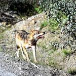 Ein Kojote am Wegesrand auf dem Wegt zum Salmon Gletscher.