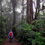 """Bei derf Wanderung des zweien Tages haben wir """"echten Nebelwald""""."""