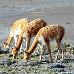 Es gibt insgesamt ca. 2000 Vicunjas im Nationalpark.