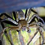 Es gibt auch andere große Spinnen hier im Resort.