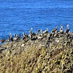 Un immer wieder Pelikane.