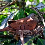 Die Taube wollte trotz der vieler Touristen ihr Nest nicht verlassen.