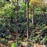 Auch Honduras ist Kaffeeland.