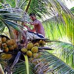 Gleich zur Begrüßung klettert jemand deine Palme hoch und pflückt für uns zwei Kokosnüsse.