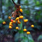 Urwaldfrüchte