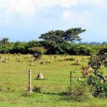 Wir trauen unseren Augfen nicht - Termitennester in Südamerika.