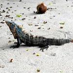 Und das ist ein großer Leguan am Playa Espadilla.