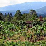 Neben Kaffee wachsen hier natürlich auch Bananen.