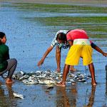 Die Frauen .haben dann die Aufgabe, die guten von den schlechten Fischen zu sortieren