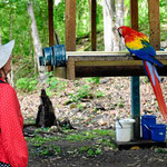 Zum ersten Mal sehen wir Scarlett Macaws in freier Wildbahn. Sie wurden hier aufgezogen und ausgewildert. Bei dem Futterangebot kommen sie aber immer wieder gerne zurück.
