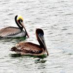 """Das """"M;orgenspiel"""" mit den Pelikanen. Vom Frühstück aus beobachten wir die Vögerl"""