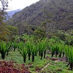 Und das ist das Fique, das ganze Tal lebt vom Anbau dieser Pflanze.