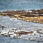 Bei einer Rundfahrt vom Cape Lookout Campingplatz sehen wir diese riesige Pelikanansammlung.