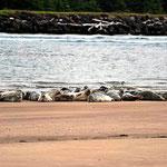 Das Ziel der Wanderung, die Seehunde.