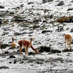 Vicunjas im Schnee.