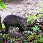 Ein Peccari, das Wildschwein aus dem tropischen Urwald.