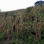 Mais am Steilhang. Wenn er abgeerntet wird, bleibt nackte Erde übrig, schutzlos dem Regen ausgesetzt.