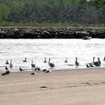 Neben den Seehunden können wir auch Pelikanen zuschauen.