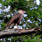 Ein Adler (welcher??? Da müsste ich gründlich recherchieren). Unser Guide war ganz entzückt und ich auch, da der Vogel mich nah genug ranliß.
