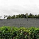 Das Tiefland ist Ananasland. Hier wird soviel gespritzt, dassman die Felder besser nicht betritt.