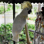 Das ist der glucksende Kakadu.