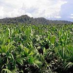 Auf der Fahrt zur Karibik geht es durch weite Bananenfelder.