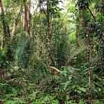 Wie überall ist es nur ein Sekundärurwald. Alle wertvollen Bäume wurden gefällt, alte Bäume gibt es fast nicht. Es wird lange Zeit dauern, bis hier ein richtiger Urwald wächst.