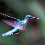 Auf die Aufnahme bin ich stolz, ein Kolibri im Flug und dann auch noch scharf.