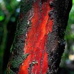Das Holz ist wirkllich so rot.