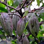 Kakaofrüchte auf der Schokoladentour.