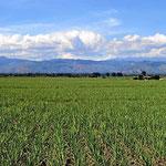 Endlose Zuckerrohrfelder im Caucatal.