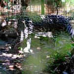 Belize Zoo ist ein Dschungelzoo. Bei Sonnenlicht sind die Tiere im Wald kaum erkennbar (und kaum fotografierbar).