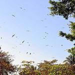 Und wieder ist der Himmel voll mit Fregattvögel.