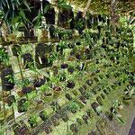 Weihnachten muss es hier ein Traum sein, 10 000 von Orchideen in voller Blüte.