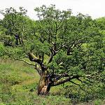 Hier gibt es vieler solcher Bäume, die uns an die Baobab-Bäume in Australien erinnern.