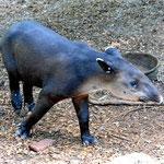 """Der Tapir, sehr selten in freier Wildbahn zu sehen. Allerdings nicht im Education Center. Als ich vor dem Office sitze, """"hoppelt"""" ein junger Tapi an mir vorbei."""