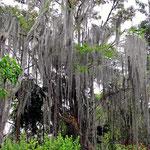 Die Chiminangos, Bäume mit Bärten.