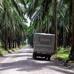 Bei der Weiterfahrt nach der Playa Basura fahrn wir durch endlose Palmöl-Plantagen.