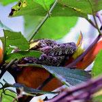 """""""Die Schlange"""" im Nationalpark Manuel Antonio. Man muss schon wirklich genau wissen, wo sie im Gebüsch liegt. Ohne den Guide hätten wir sie nie entdeckt."""
