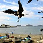Mazatlan hatt noch Fischer. Wenn die anladen ist alles voller Vögel (hier Fregattvögel).