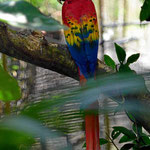 Ein Papagei. Deshalb ist sein Bestand sehr gefährdet.