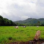 Hinter dem Strand gibts Rinderland, Wiesen und kleine Wälder.