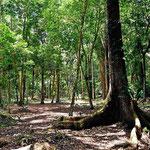 La Milpa liegt im recht unberührten Urwald. Die Pyramiden sind nur als Hügel im Wald erkennbar.